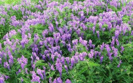 Сочная трава вика — полезный корм и симпатичное растение