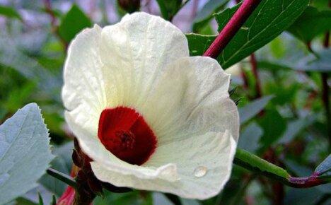 А что вы знаете о полезных свойствах чая из цветов гибискуса?