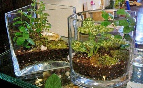 Особенности выращивания фиттонии в домашних условиях