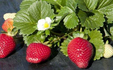 Рекомендуем 10 лучших сортов ремонтантной садовой земляники