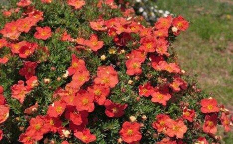 Неприхотливая лапчатка для летне-осеннего сада