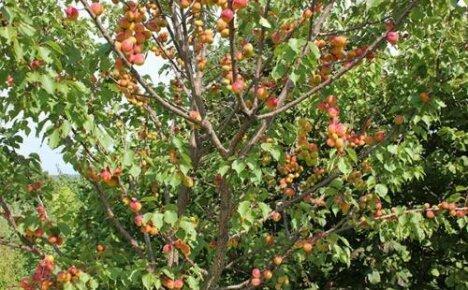 Лучшие зимостойкие сорта абрикос для средней полосы России