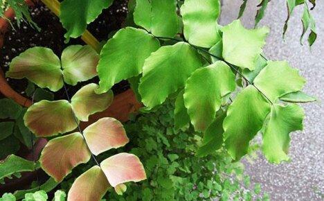 Почему сохнет адиантум или проблемы при выращивании папоротников