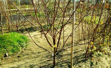 Молодой абрикос не цветет: почему и что делать