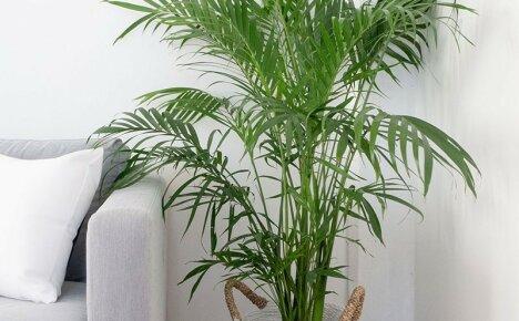 Декоративная пальма для дома и офиса – комнатный цветок хризалидокарпус