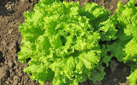 Польза и вред салата латук — потрясающая находка для здоровья