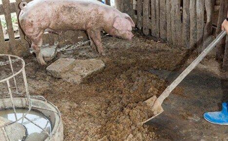 Используем на огороде свиной навоз как удобрение