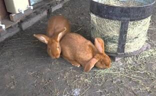 Технология содержания и разведения кроликов