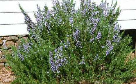 Выращиваем в открытом грунте пряную траву розмарин