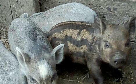 Многообещающий гибрид сомнительного происхождения – свиньи Кармалы
