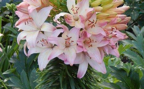 Экзотическое азиатское украшение для сада – сорт лилии Марлен