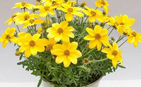 Ампельный биденс – уход и выращивание, применение цветочной культуры в ландшафтном дизайне