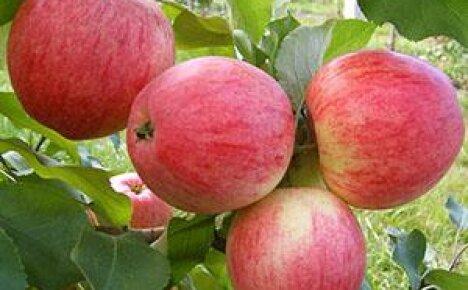 Фото и описание одного из старейших сортов яблони Мельба