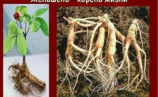 Полезные свойства женьшеня – что мы знаем о целебных корешках