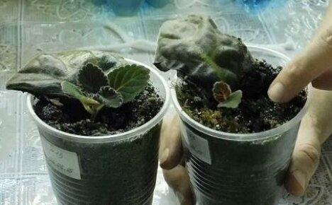 Как размножить глоксинию листом?