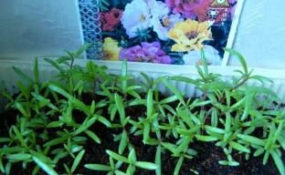 Выращивание цветочного портулака через рассаду – тонкости посева и ухода за сеянцами