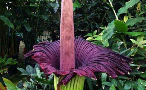 Рекордсмен по размеру соцветия и запаху — Аморфофаллус