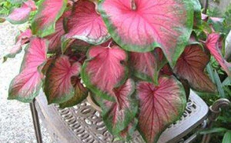 Чем отличается каладиум и уход за ним от других комнатных растений