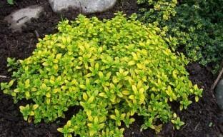 Тимьян лимонный – ароматное растение для пряной клумбы