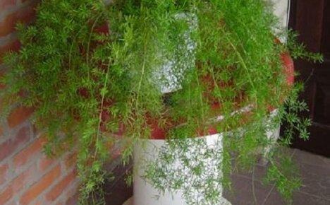 Выращивание аспарагуса Шпренгера из семян