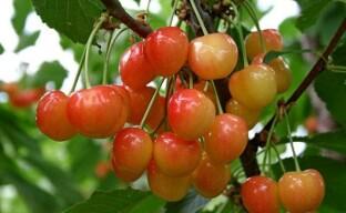 Почему черешня не плодоносит?