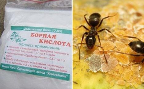 Как используется борная кислота от муравьев в саду и дома