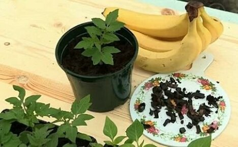 Удобрение из банановой кожуры для томатов и огурцов: как приготовить и применять?