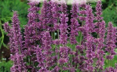 Как сажать бергамот комнатный и садовый