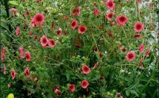 Удивительная лапчатка непальская – неприхотливый цветущий многолетник для начинающих садоводов