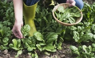 Выращивание шпината – что нужно знать о солнцелюбивой и стойкой культуре