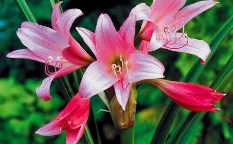 Почему домашний амариллис не цветет?