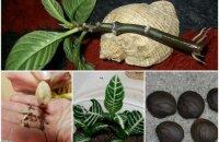 Размножение афеландры — как быстро и легко получить новые красивые кустики