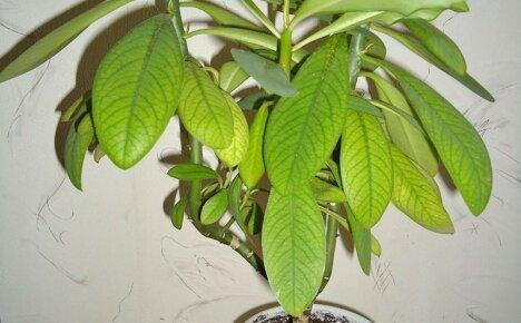 Комнатный цветок синадениум или тропики на расстоянии вытянутой руки
