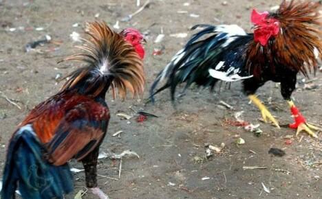 Уникальная птица — бойцовые породы кур