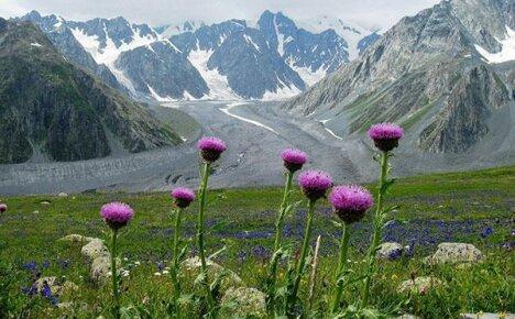 Трава левзея (маралий корень) — источник силы миллионов
