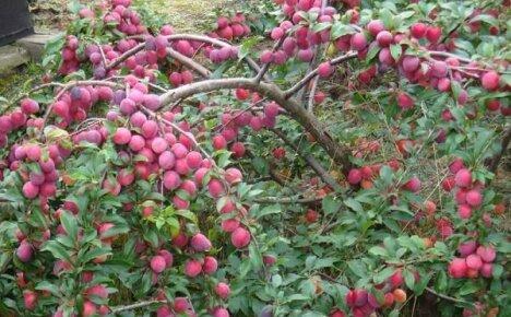 Выращиваем в саду одно из самых стойких плодовых деревьев – алычу