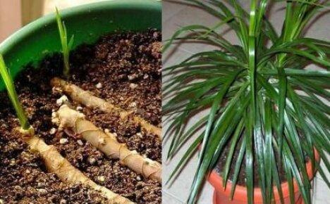 Как размножить драцену: черенкуем, сеем семена, делаем воздушные отводки