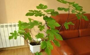 Нюансы выращивания инжира в комнатных условиях