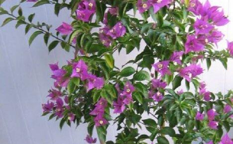 Беззащитная красавица без шипов — бугенвиллия голая