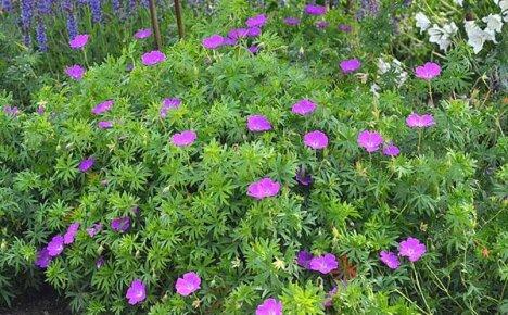 Знакомимся с видами многолетней садовой герани