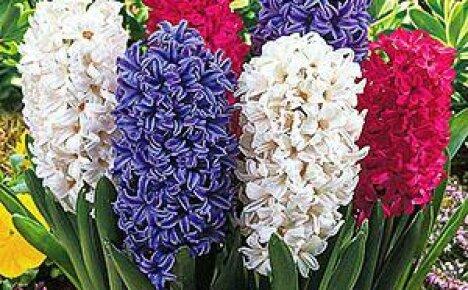 Правильно выбранное время посадки гиацинтов в саду — гарантия обильного цветения весной