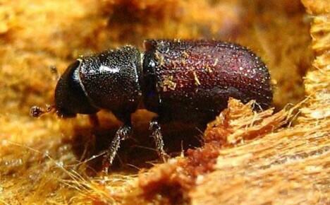 Польза и вред жука короеда в саду на дачном участке
