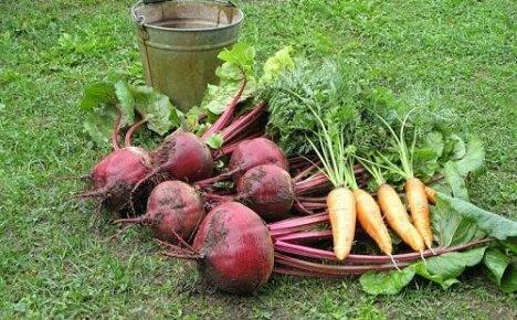 Что необходимо знать о сроках уборки свеклы и моркови?
