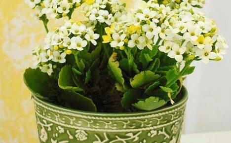 Уход в домашних условиях и правильное выращивание уникального каланхоэ Мини Микс