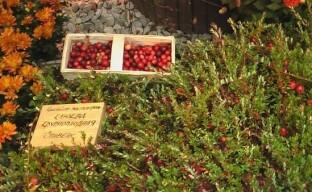 Что нужно знать, планируя выращивание клюквы на даче