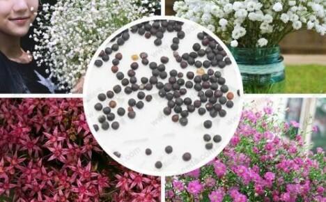 Два способа семенного выращивания гипсофилы