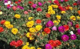 Портулак махровый – растение для красивого «ленивого» сада