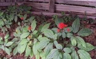 Выращивание женьшеня в саду – тонкости посадки лечебного растения
