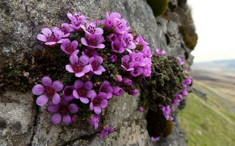 Виды и сорта камнеломки (saxifraga)
