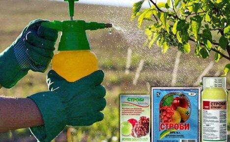 Как применять фунгицид Строби в саду и на грядках